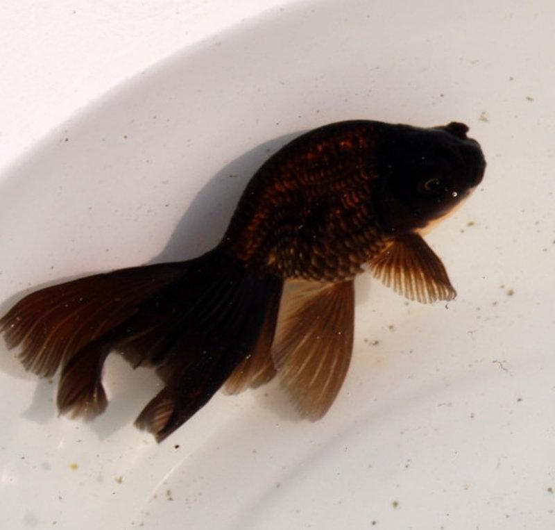 New Kinds Goldfish Eggfish With Phoenix Tail